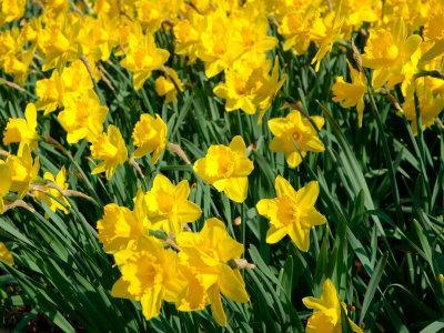 Yellow Daffodils, Elmira College, New York, USA