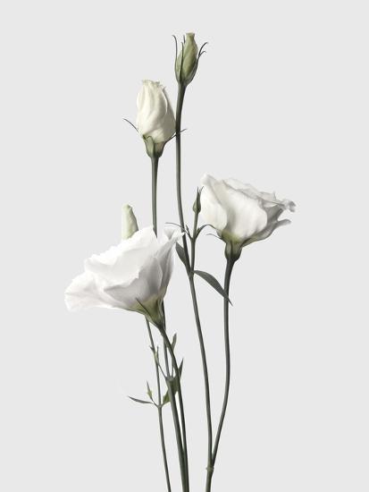 Lisianthus White-Design Fabrikken-Photographic Print