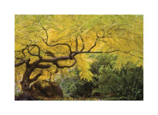 Lithia Park Arching Maple-Donald Paulson-Giclee Print