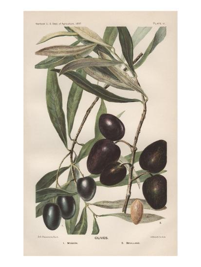 Lithograph of Olives by D.G. Passmore-Jennifer Kennard-Giclee Print