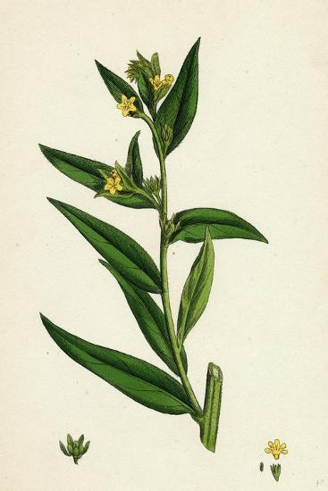 Lithospermum Officinale Common Growmwell--Giclee Print