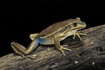 Litoria Aurea (Green and Golden Bell Frog)-Paul Starosta-Photographic Print