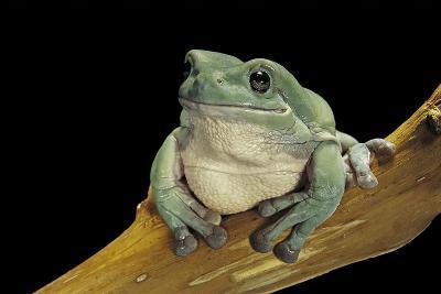 Litoria Caerulea (Dumpy Treefrog)-Paul Starosta-Photographic Print