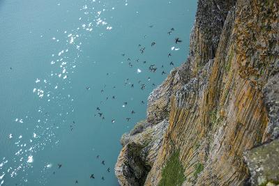 Little Auks Fly by Basalt Columns on Rubini Rock, Hooker Island-Andy Mann-Photographic Print