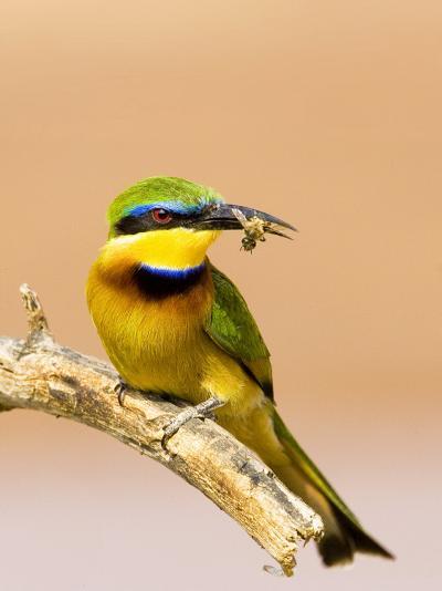 Little Bee-Eater Bird on Limb With Bee in Beak, Kenya-Joanne Williams-Photographic Print