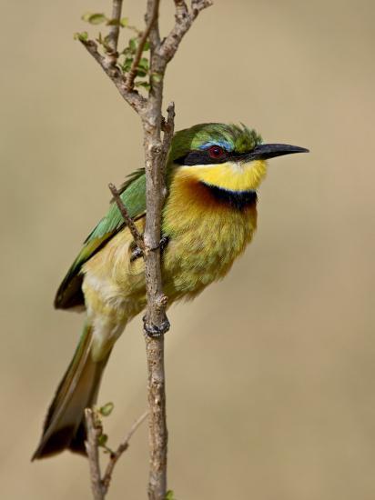 Little Bee-Eater, Masai Mara National Reserve, Kenya, East Africa, Africa-James Hager-Photographic Print