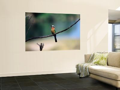 Little Bee Eater Sits on a Branch-Frans Lemmens-Wall Mural