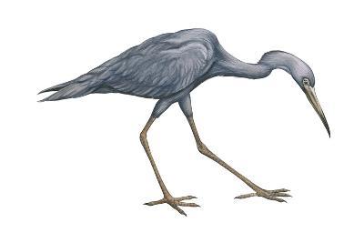 Little Blue Heron (Egretta Caerulea), Birds-Encyclopaedia Britannica-Art Print