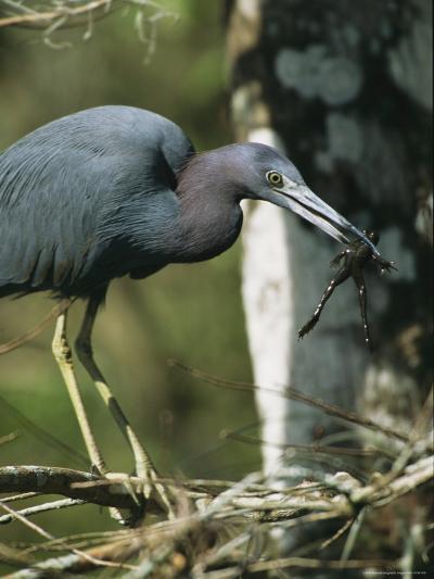 Little Blue Heron (Egretta Caerulea), with Frog, Corkscrew Swamp, Fl--Photographic Print