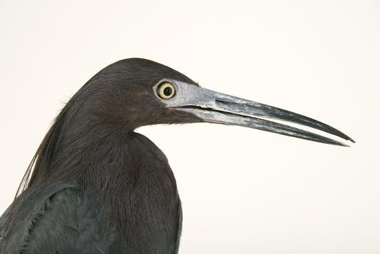 Little blue heron, Florida caerulea-Joel Sartore-Photographic Print