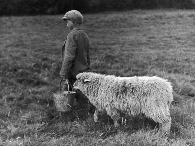 Little Boy Carring a Metal Pail of Feed is Followed by a Hungry Sheep!--Photographic Print