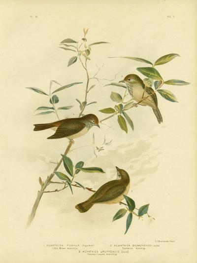 Little Brown Thornbill, 1891-Gracius Broinowski-Giclee Print