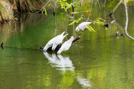 Little Corellas drinking from pond, Australia-Mark A Johnson-Photographic Print