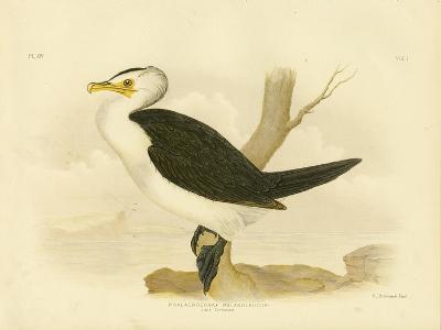 Little Cormorant, 1891-Gracius Broinowski-Giclee Print