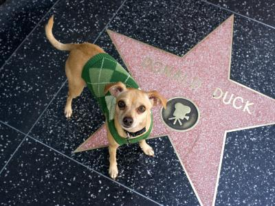 Little Dog Visiting Donald Duck's Star on Hollywood Walk of Fame-Christina Lease-Photographic Print