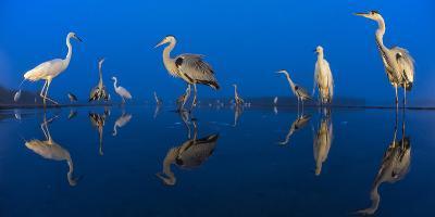 Little Egret (Egretta Garzetta) and Grey Herons (Ardea Cinerea) Reflected in Lake at Twilight-Bence Mate-Photographic Print