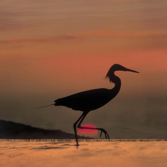 Little Egret (Egretta Garzetta) Silhouetted at Sunset, Africa-Tim Fitzharris/Minden Pictures-Photographic Print