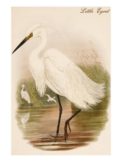 Little Egret-John Gould-Art Print
