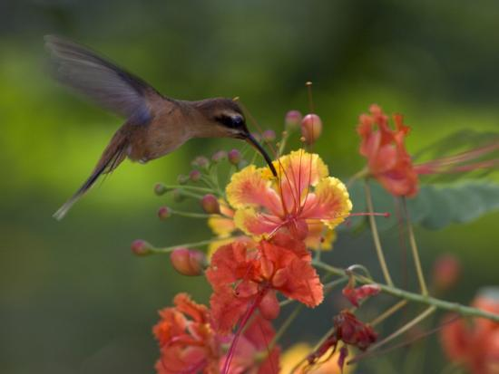Little Hermit Hummingbird Drinking from a Flower-Roy Toft-Photographic Print