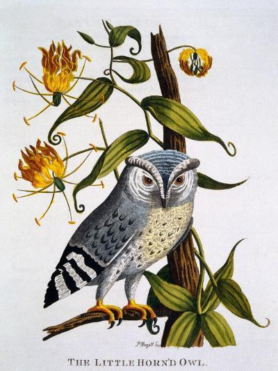 Little Horned Owl, from 'Indian Zoology', Published 1790-Thomas Pennant-Giclee Print