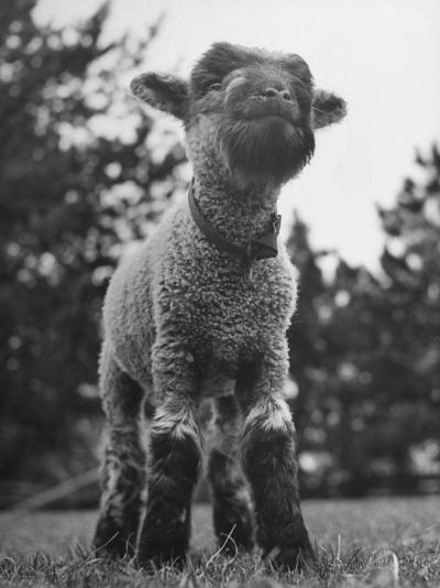 Little Lamb Posing for the Camera-Wallace Kirkland-Photographic Print