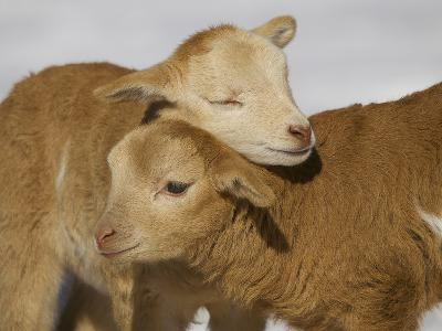 Little Lambs-Ryan Courson Photography-Photographic Print
