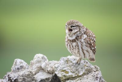 Little Owl (Athene Noctua) Calling From Stones. Lleida Province. Catalonia. Spain-Oscar Dominguez-Photographic Print