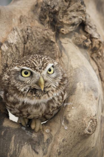 Little Owl (Athene Noctua), Devon, England, United Kingdom-Janette Hill-Photographic Print