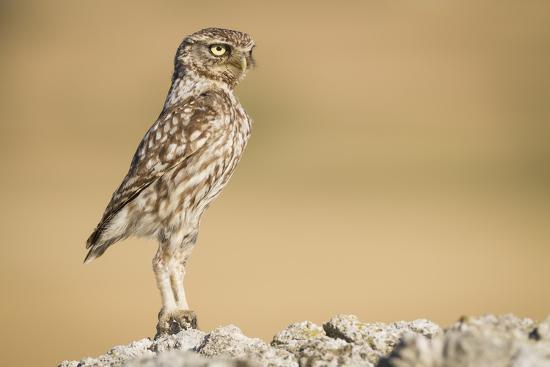 Little Owl (Athene Noctua) Head Stretched In An Alert Posture. Lleida Province. Catalonia. Spain-Oscar Dominguez-Photographic Print