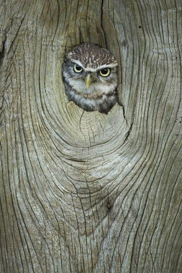 Little Owl (Athene Noctua), in Captivity, Gloucestershire, England, United Kingdom, Europe-Kevin Morgans-Photographic Print