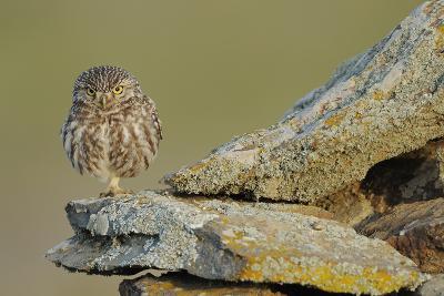 Little Owl (Athene Noctua) on Rock, La Serena, Extremadura, Spain, April 2009-Widstrand-Photographic Print