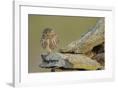 Little Owl (Athene Noctua) on Rock, La Serena, Extremadura, Spain, April 2009-Widstrand-Framed Photographic Print