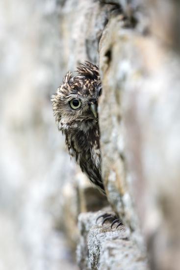 Little Owl (Athene Noctua) Perched in Stone Barn, Captive, United Kingdom, Europe-Ann & Steve Toon-Photographic Print