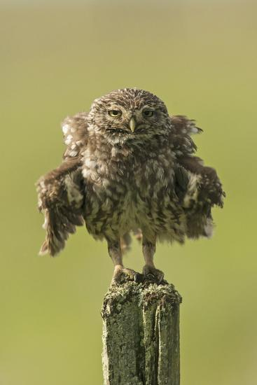 Little Owl (Athene Noctua) Perched On A Fence Post, Ruffling Its Feathers, Castro Verde-Roger Powell-Photographic Print