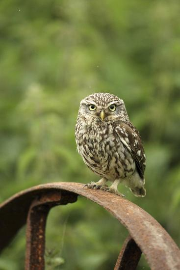 Little Owl (Athene Noctua) Perched on a Rusting Iron Wheel, Essex, England, UK, June-Luke Massey-Photographic Print