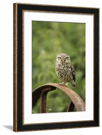Little Owl (Athene Noctua) Perched on a Rusting Iron Wheel, Essex, England, UK, June-Luke Massey-Framed Photographic Print