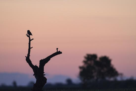 Little Owl (Athene Noctua) Perched On Small Tree. Lleida Province. Catalonia. Spain-Oscar Dominguez-Photographic Print