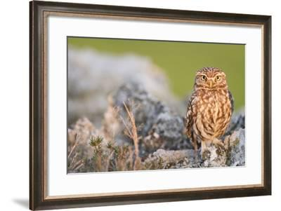 Little Owl (Athene Noctua) Perched On Stones. Lleida Province. Catalonia. Spain-Oscar Dominguez-Framed Photographic Print
