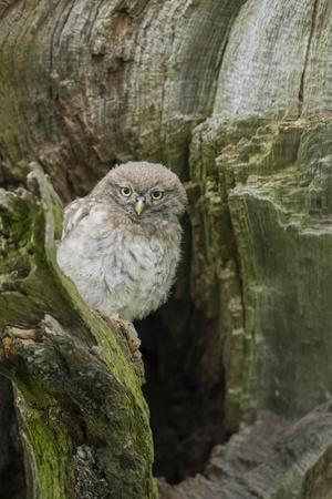 https://imgc.artprintimages.com/img/print/little-owl-athene-noctua-yorkshire-england-united-kingdom-europe_u-l-q12sau60.jpg?p=0