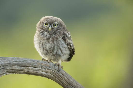 Little Owl (Athene Noctua), Yorkshire, England, United Kingdom, Europe-Kevin Morgans-Photographic Print