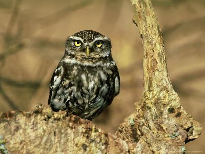 Little Owl, Hampshire-David Tipling-Photographic Print
