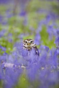 Little Owl in Bluebell Wood