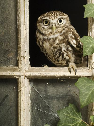 Little Owl in Window of Derelict Building, UK, January-Andy Sands-Photographic Print