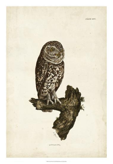 Little Owl-John Selby-Giclee Print