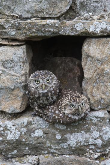 Little Owls (Athene Noctua) Perched in Stone Barn, Captive, United Kingdom, Europe-Ann & Steve Toon-Photographic Print