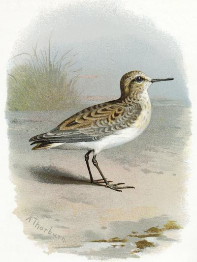 Little Stint, Historical Artwork-Sheila Terry-Photographic Print