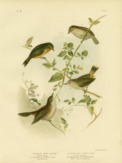 Little Thornbill or Yellow Thornbill, 1891-Gracius Broinowski-Giclee Print