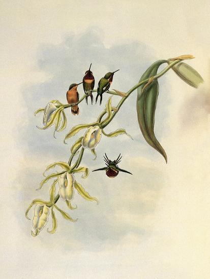 Little Wood-Star, Ch�tocercus Bombus-John Gould-Giclee Print