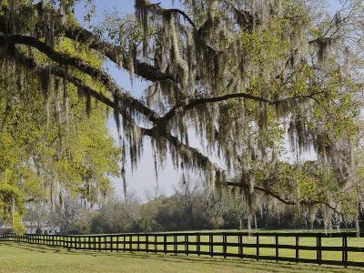 Live Oak Trees Draped in Spanish Moss, Boone Hall Plantation, Mount Pleasant, Christ Church Parish-Adam Jones-Photographic Print
