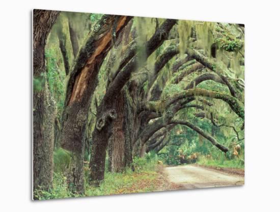 Live Oaks Covered in Spanish Moss and Ferns, Cumberland Island, Georgia, USA-Art Wolfe-Metal Print